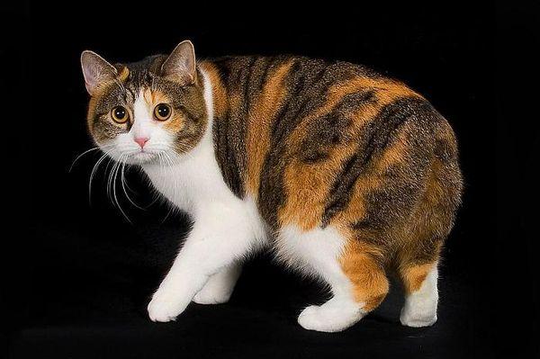 Veľká Afrika mačička