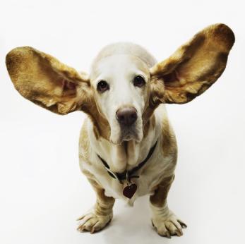 """Képtalálat a következőre: """"kutya fül"""""""